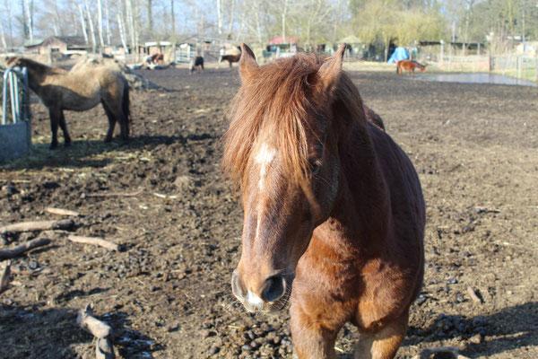 Unser Wunderschöner Prinz ist eingefahren und eingeritten. Prinz ist ein sehr sensibles  Pferd und will immer gefallen, mit seinen  dazugehörigen Temperament verzaubert er jeden. (RB) Lea und Prinz sind ein echtes Traum Team