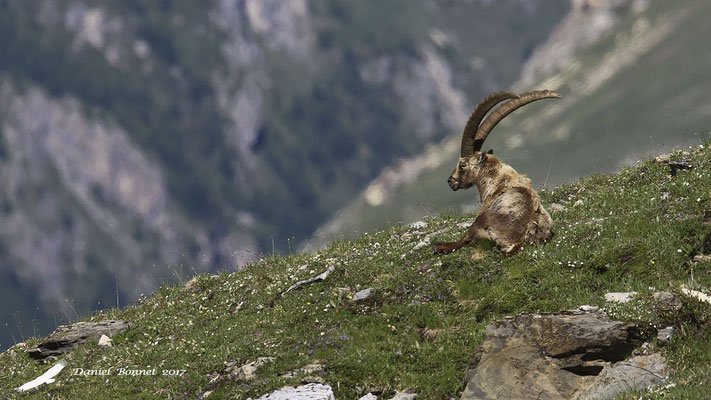 Bouquetin des Alpes 1