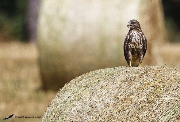 Buse Variable 4