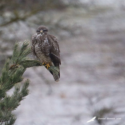 Buse variable 5