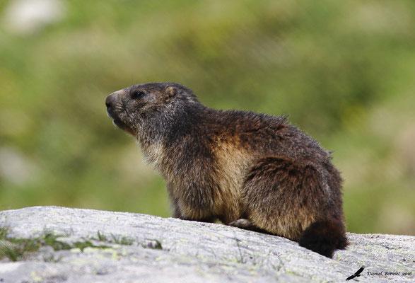 Marmotte 2