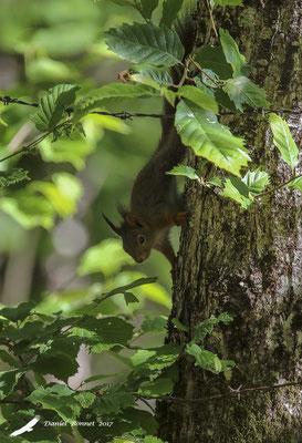 Ecureuil à queue noire