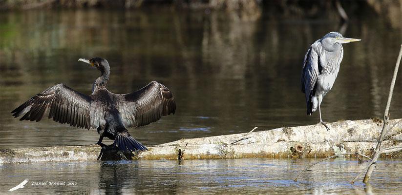 Héron cendré et Grand cormoran