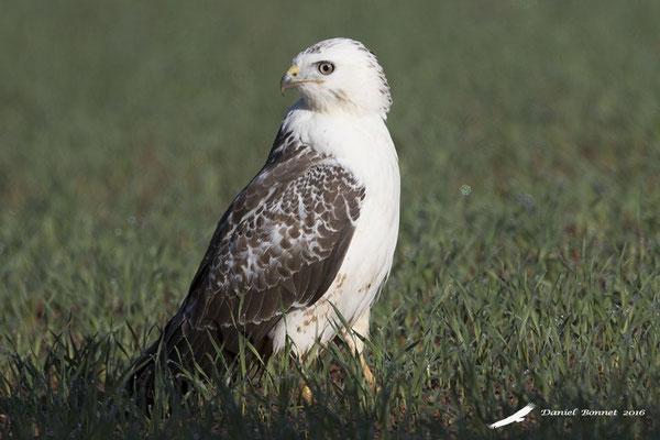 Buse Variable 3