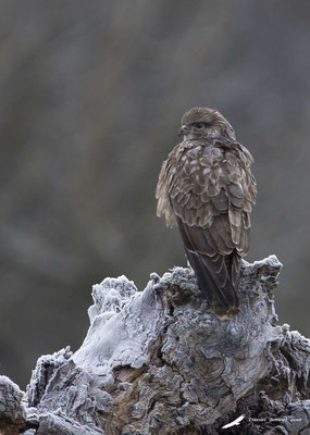 Buse Variable 1