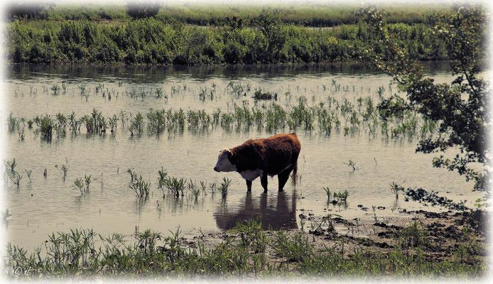 Eine Stier gönnt sich ein Hufbad