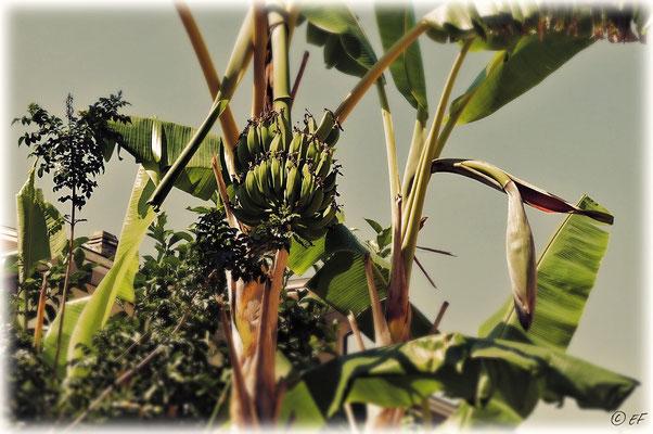 Bananen (aufgenommen in Riva Ligure)