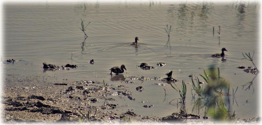 Die Jungen der Ente haben Spaß