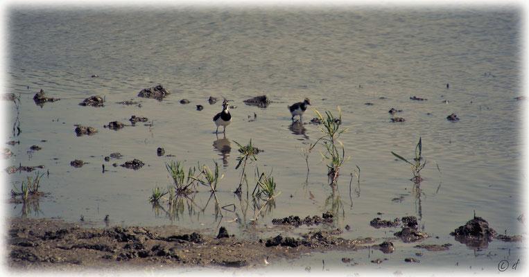 Der Altvogel (Kiebitz) wacht & hat die Küken fest im Blick