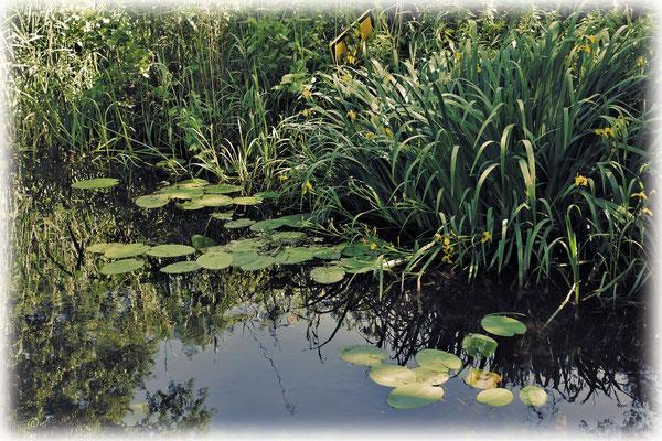 Üppige Wasservegetation