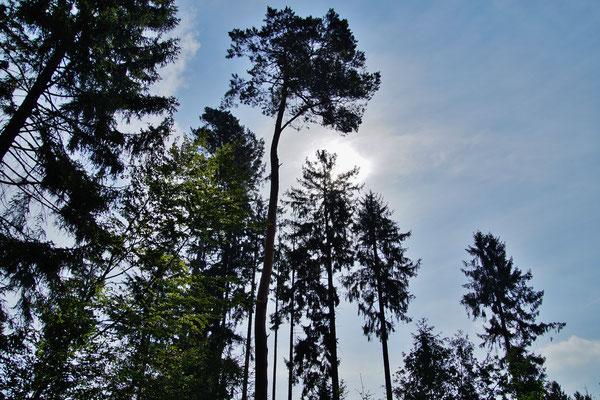Baumkronen im Sonnenlicht