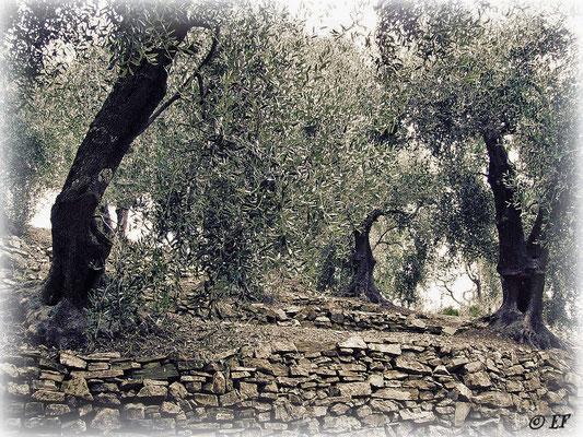 Olivenhaine... Ligurien ist eine Region, die bekannt ist für ihr hervorragendes Olivenöl