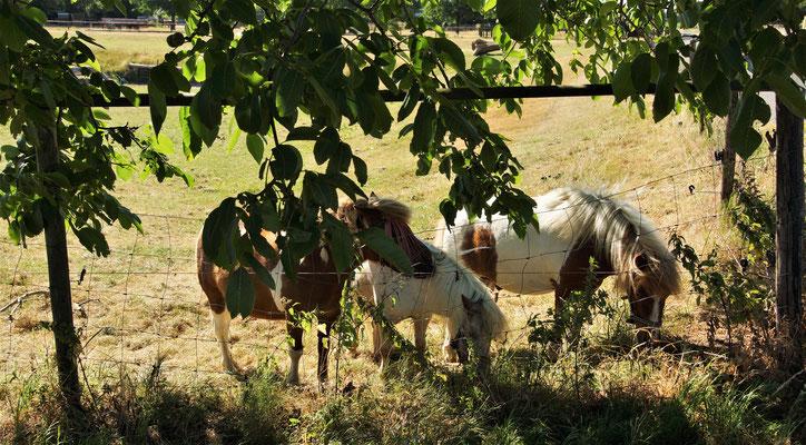 Ponys am Feldrand