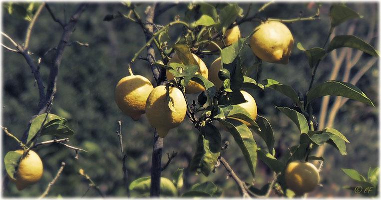 Land der Zitronen