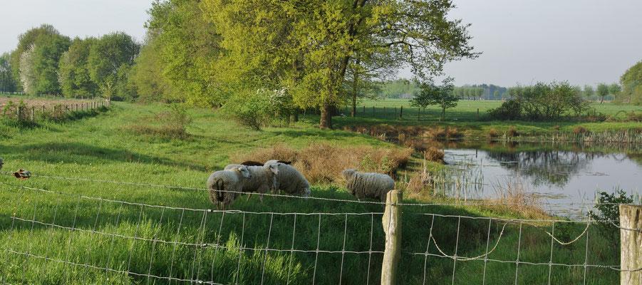 An einem Teich in den NL machen wir Halt: Schafe dienen als natürliche Rasenmäher
