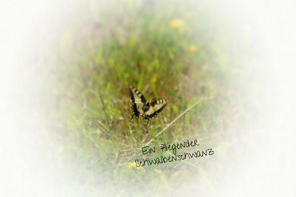 Verschiedene Schmetterlingsarten trifft man/frau an. Hier: Ein Schwalbenschwanz
