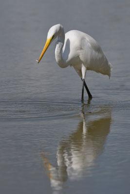 Calidris sp.; Little Estero Lagoon; Nikon D500 + AF-S 200-400
