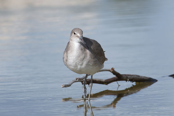 Calidris sp.; Little Estero Lagoon; Nikon D500 + AF-S 200-400