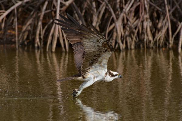 Osprey, Little Estero Lagoon; Nikon D500 + AF-S 200-400 400mm