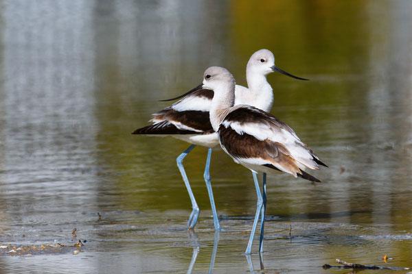 American Avocet; Little Estero Lagoon; Nikon D500 + AF-S 200-400 280mm