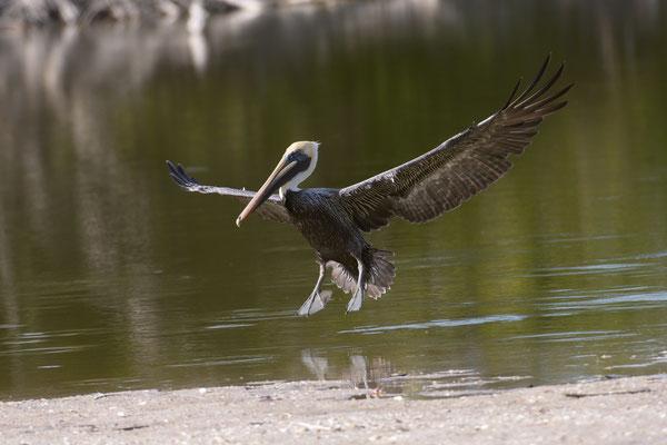 Brown Pelican; Little Estero Lagoon; Nikon D500 + AF-S 200-400 400m