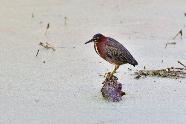 Circle B Bar Reserve / Green Heron