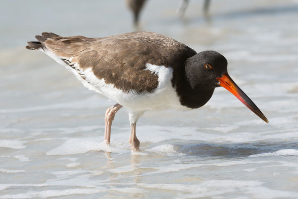 Oystercatcher, Little Estero Lagoon; Nikon D500 + AF-S 200-400 220mm