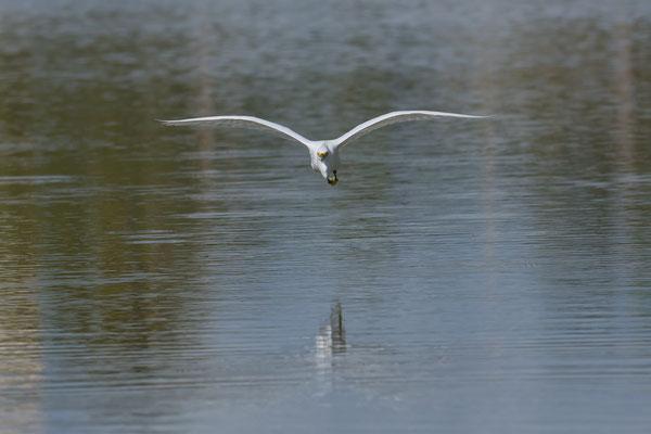 Snowy Egret, Little Estero Lagoon; Nikon D500 + AF-S 200-400 280mm
