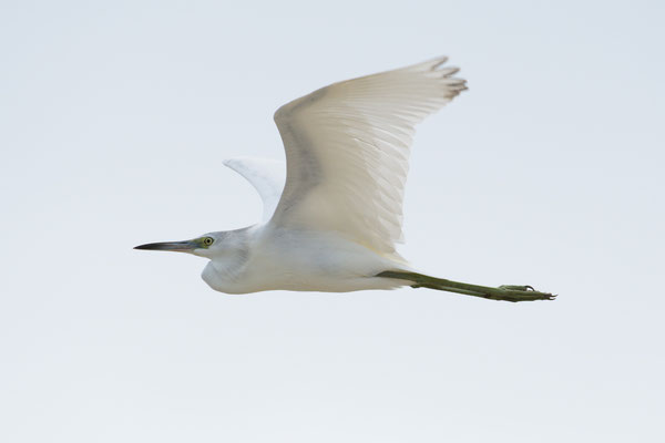 Bunchee Beach; Great Egret; Nikon D500 + AF-S 200-400