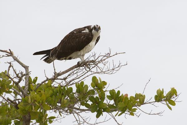 Osprey; Barefoot Beach; Nikon D500 + AF-S 200-400 @ 400mm