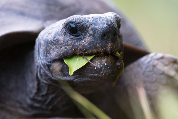 Gopher Tortoise; Barefoot Beach; Nikon D500 + AF-S 200-400 @ 400mm