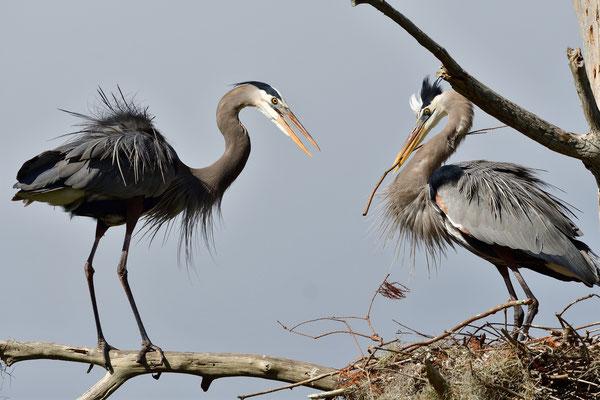 Circle B Bar Reserve / Great Blue Heron