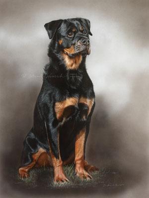 Auftragsarbeit Rottweiler Portrait gemalt in Pastell, Format 60 x 80 cm.