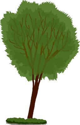 植物 自然 緑 庭園 公園 夫婦ケヤキ