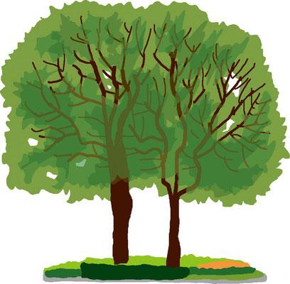 植物 自然 緑 庭園 公園 ケヤキ