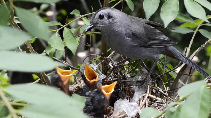 Catbird nest, Fanwood, NJ, 2016