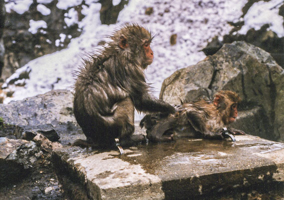 Bathing macaque, Nagano Prefecture, Japan, 1998