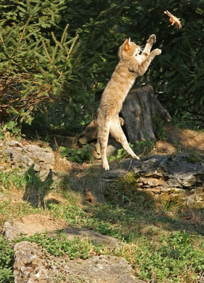 Wildkatze Wildpark Bad Mergentheim