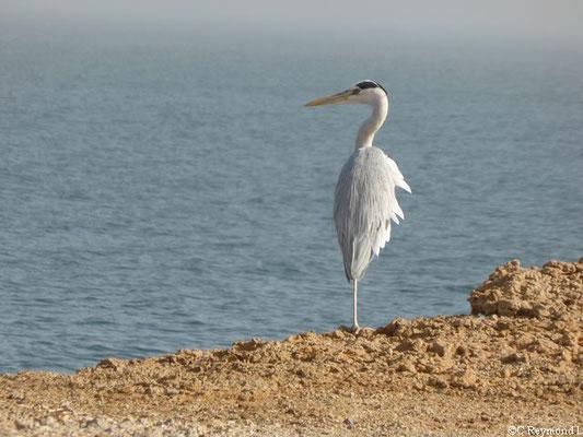 Héron cendré face à l'océan sur le Banc d'Arguin