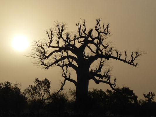 Crépuscule et baobab sud est de la Mauritanie