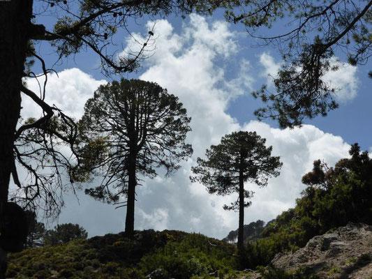 Dans le parc de Talassemtane - Les pins