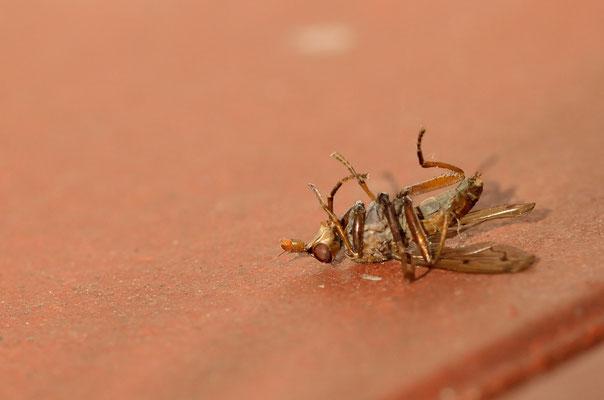Tote Fliege