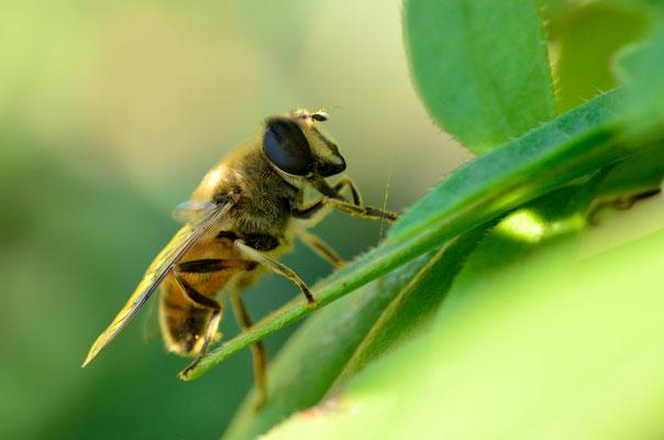Schwebfliege (Mistbiene, Schlammbiene oder Scheinbienen-Keilfleckschwebfliege)