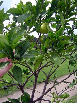 Früher gab es hier bis zu 550 Orangenbäume. Die vereinzelten Orangen sind allerdings meist noch sehr grün.