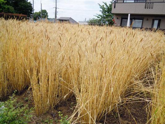 収穫目前の柳久保小麦。