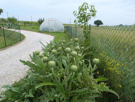 plant d'artichauts  aux Gites des Camparros à Nailloux