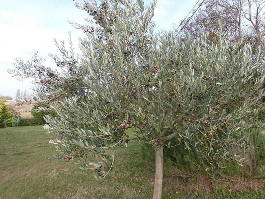 arbre olivier  aux Gites des Camparros à Nailloux