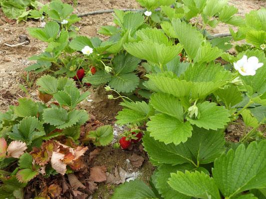 fraisiers aux Gites des Camparros à Nailloux