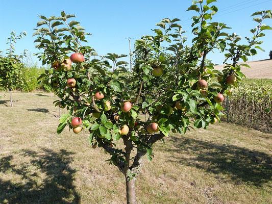 pommier avec ses fruits  aux Gites des Camparros à Nailloux