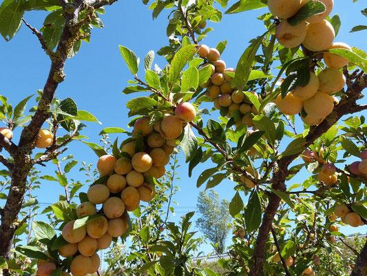 branche de mirabelles  aux Gites des Camparros à Nailloux